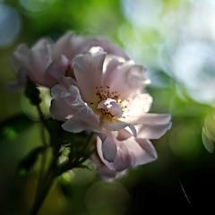 roses (SS) Tags: flowers roses italy garden spring pentax bokeh lazio k5 2015 smcpentaxm50mmf17 ss