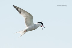 Common Tern / Visdief (Sterna hirundo) (Levina de Ruijter) Tags: amsterdam birds animals canon inflight nederland thenetherlands vogels dieren waterland bif commontern invlucht visdief canonef400mmf56lusm canon1dmarkiii levinaderuijter