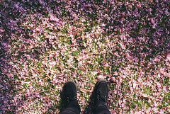 It Snowed Blossoms! (josierustle) Tags: flowers trees nature grass petals spring blossom cherryblossom creepers brothel