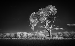 Lone tree at Mundham 14/05/2016 (Matthew Dartford) Tags: blackandwhite tree monochrome ir mono infrared lonetree infraredphotography