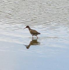 Brandon Marsh (amandabhslater) Tags: lake water birds naturereserve redshank brandonmarsh