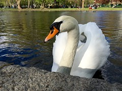Swan Portrait ((Jessica)) Tags: portrait bird nature boston closeup swan downtown wildlife massachusetts newengland publicgarden