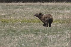 20160512_GrandTetonNP_1833-1 610'sYearling (Martine Yen) Tags: bears grandtetonnationalpark