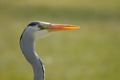 Blauwe Reiger - Blue Heron -Explored (ericzijnfotoos) Tags: bird explore vogel explored nikond90 sigma150500mmos