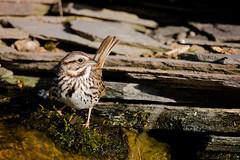 Song Sparrow Moss Surfing (Jen St. Louis) Tags: ontario canada bird waterfall pond backyard elmira sparrow songsparrow backyardbirding nikon300mmf4 jenstlouisphotography wwwjenstlouisphotographycom nikond750
