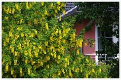 Goldregen (eulenbilder) Tags: blumen mai garten frühling blüten goldregen