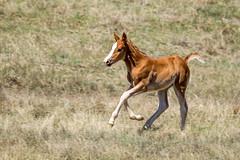 Running Free (Bill_Oswald) Tags: animals wildlife northdakota colt wildhorses photog theodorerooseveltnationalpark otherkeywords northdakota2016