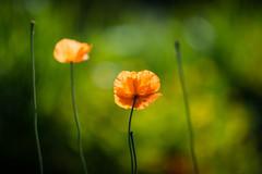 Sunlit orange poppies (tonybill) Tags: flowers sunshine gardens bokeh may surrey miscellaneous nikkor24mmf28ais loseleypark nikond610 nikkordc135mmf2