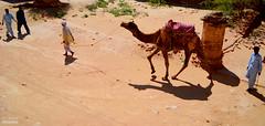 Camel Ride (Ali Chatai   Photo.blog) Tags: pakistan people landscape dessert photography fort ali camel cholistan derawar chatai alichatai