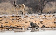 PGC_4247-20150923-Edit (C&P_Pics) Tags: cats na zebra namibia lepard burchellszebra etoshanationalpark oshikoto namutonicamptohalalicamp