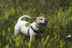 Enjoying The Meadow Flowers - 52 Weeks For Dogs, 28/52 (me'nthedogs) Tags: flowers jrt meadow terrier snaps jackrussell 2852 52weeksfordogs