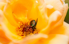 Glossy Rose Beetle (Gabriel FW Koch) Tags: wild sun sunlight macro green nature rose yellow closeup canon bug garden insect eos shiny dof natural bokeh wildlife beetle 100mm glossy flyinginsect