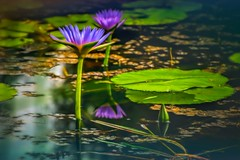The Lotus Position (jenni 101) Tags: flowers water pretty purple lotus bokeh waterlillies nikond7200