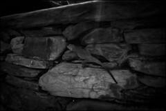 on living inscriptions (parth joshi) Tags: travel mountains nature fauna outdoors photography highway wildlife roadtrip lizard himalayas agama uttarakhand kumaun