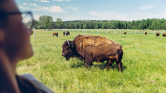 29.05.2016 (Fregoli Cotard) Tags: wild cute buffalo poland western endangered wildwest dailyphoto django extinct photodiary photojournal 366 zubr dailyjournal dailyphotograph everydayphotography everydayphoto 366days aphotoeveryday 366project 366daily 150366 everydayjournal 366dailyproject photographicaljournal 150of366