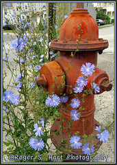 Beauty in Unexpected Places (Photographic Poetry) Tags: red flower nature beauty weed rust firehydrant chicory fireplug