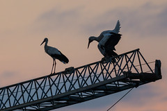 Pause auf dem Kran (NEX69) Tags: stork storch