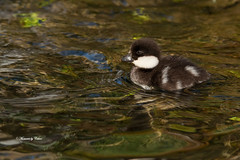 Common Goldeneye chick (Canon Queen Rocks (980,000 + views)) Tags: cute bird nature water wildlife beak feathers young chick markings commongoldeneye