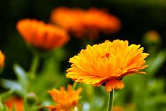 Flowers  (Wenninger Johannes) Tags: flower flowers blumen blume natur naturfoto naturfotografie nature naturephotography naturephoto foto fotografie linz austria sterreich obersterreich