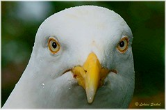 Header V (lukiassaikul) Tags: wildlifephotography wildanimals wildbirds urbanwildlife birds largebirds seagulls herringgulls closeup head raindrops