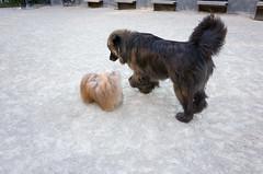 washington square park dog run (Charley Lhasa) Tags: nyc newyorkcity dog ny newyork dogs pattern iso400 manhattan washingtonsquarepark noflash moo myfavorites uncropped charley dogrun greenwichvillage citypark lightroom bigdog lhasaapso wsp nycparks urbanpark 3stars aperturepriority dng flagged grii adobelightroom 0ev bigdogrun charleylhasa 183mm washingtonsquareparkdogrun ricohgrii dogsmet secatf28 buscd moocd 28mm35mmequivalent adobelightroomcc20156 lightroomcc20156 r007984 taken160702190831 uploaded160703115601 tumblr160703 httpstmblrcozpjiby28o8cb