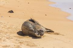 monkseal6Jun17-16 (divindk) Tags: hawaii hawaiianislands kauai neomonachusschauinslandi beach cute endangeredspecies hawaiianmonkseal lazy marine marinemammal monkseal seal sunshine whiskers