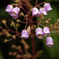 Day 6 16 Logan Botanic Garden little purple bells (bob watt) Tags: uk plants flower june canon scotland 7d 2016 18135mm loganbotanicgarden canoneos7d kirkcudbrightholidayjune2016