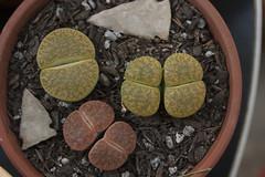 0709 lithops 1 (ingepurl) Tags: plants gardening lithops arrowhead succulents livingstone lithop livingstones pebbleplant