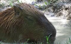 The capybara (Hydrochoerus hydrochaeris) (Mel's Looking Glass) Tags: bear giant rodent rat capybara the hydrochoerus hydrochaeris