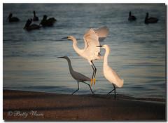 Snowy Egret`s (Betty Vlasiu) Tags: snowy egret egretta thula bird wildlife nature florida