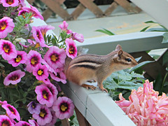 Chipmunk Among Petunias (bigbrowneyez) Tags: chipmunk animal tiny cute adorable visit nature natura sweet flowers petunias peonies petals clarity focus fun visitor beautiful lovely delightful stripe deck garden giardino railing trellis tail