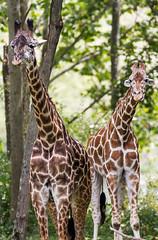 Giraffe pair #1 (billd_48) Tags: ohio summer animals captive thewilds giraffe cumberland oh usa