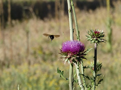 Thistle and Bee (Boulder Flying Circus Birders) Tags: thistle asteraceaesp colorado boulder wildbirdboulder wildbirdcolorado wildbirdcompany formerwildbirdcenter birdseed birdwalk meyersgulch walkerranchopenspace bouldercountyparksandopenspace janebaryames