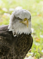 American Bald Eagle - Cherokee (Alan1297) Tags: americanbaldeagle appuldurcombehouse isleofwight nikond7200