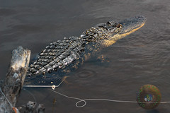 Entangled (Glotzsee) Tags: nature florida brevardcounty canaveralnationalseashore outdoors alligator entangled glotzsee glotzseefloridaimages
