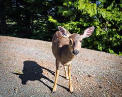 This Little One (John Westrock) Tags: deer wildlife animal bigears hurricaneridge nature canoneos5dmarkiii canonef2470mmf28lusm