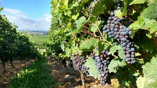 Weintrauben in den Weinbergen bei Selzen