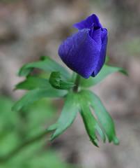 So Indigo (_wintermute) Tags: flower indigo catchy colours tamron 28200 xr