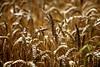 Fields of Gold (Heaven`s Gate (John)) Tags: wheat harvest crop england nature landscape closeup johndalkin heavensgatejohn warwickshire hidcote house gardens gold fieldsofgold