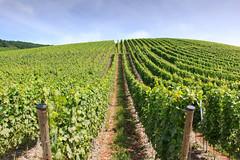 Bernkastel-Kues (RunningRalph) Tags: bernkastelkues deutschland druiven duitsland germany grape rheinlandpfalz
