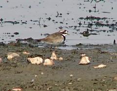 Common Ringed Plover (Mandara Birder) Tags: sonyphotographing charadriushiaticula
