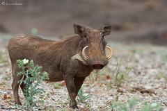 Warthog (leendert3) Tags: warthog ngc npc sunrays5