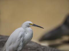 Snowy Egret (Y*Y Photography) Tags: nature bird egret heron snowy white wildlife bokey dof depth egretta thula california ca