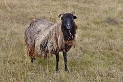 ein Schaf für Babsi - explore Oct 13, 2016 # 149 (mama knipst!) Tags: schaf sheep droverheide herbst autumn