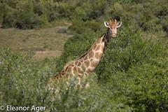 giraffe_9F7A1939 (eleivory) Tags: africa nature southafrica wildlife conservation giraffe shamwari