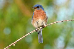 Mr. Bluebird (NaturalLight) Tags: male kansas bluebird eastern wichita easternbluebird chisholmcreekpark ksccna9001