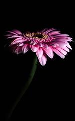 Gerbera Rose (mgaloseau) Tags: pink flowers macro nature floral fleur colors rose fleurs photo flora colorful europe european foto details natur pflanzen picture blumen gerbera 40mm printemps plantes flore macrofoto macroopname d7000 galoseau mgaloseau