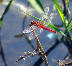 (Lalallallala) Tags: travel dragonfly malaysia taiping perak matka lakegardens
