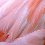 "roze_flamingo_veren_detail <a style=""margin-left:10px; font-size:0.8em;"" href=""http://www.flickr.com/photos/117161355@N07/15602484833/"" target=""_blank"">@flickr</a>"