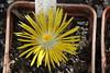 IMG_0393 (BobTravels) Tags: plant stone bob lithops lithop messem bobwitney